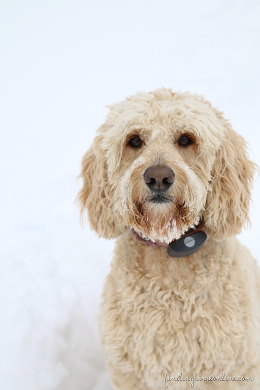 Bailey-in-the-snow