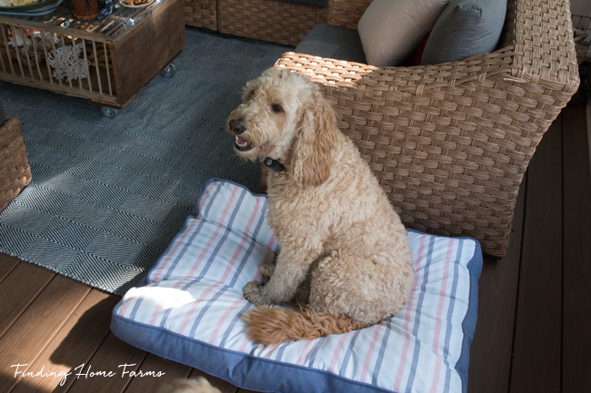 Goldendoodle-on-the-porch